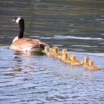 goslings in a row